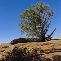 Juniper Tree At Canyon De Chelly