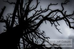 Dead Ponderosa Pine - FCOL1081