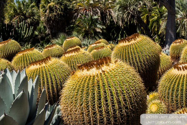 Barrel cactus at the Huntington Library and Gardens - Huntington Library-0119