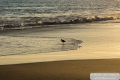 Shore bird at Laguan Beach - Laguna Beach-0144