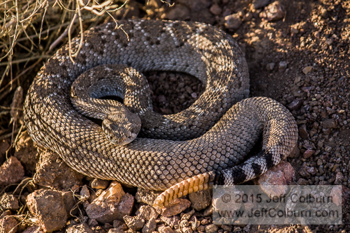 Western Diamondback Rattlesnake, Crotalus atrox, Bumblebee exit on Hwy. 17 - Critter0255