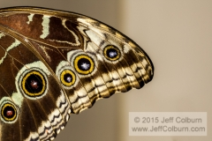 Butterfly Wing - Critters0501