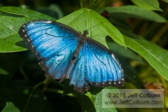 Butterfly - Critters0515