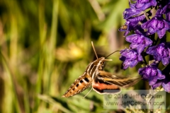 Hummingbird Moth - FlagstaffSnowbowl0146
