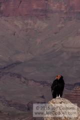 California Condor (looking to the left), Gymnogyps californianus, Mather Point, Grand Canyon - GC1235
