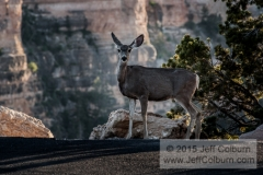 Mule Deer, Odocoileus hemionus, South Kiabab Parking Lot, Grand Canyon-GC1459