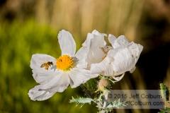 Prickly Poppy, Argemone munita, and Honey Bee, Apis mellifera, Prescott Valley - Critter0077