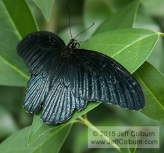 Butterfly - Critters0519