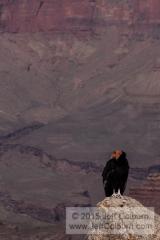 California Condor (looking to the left), Gymnogyps californianus, Mather Point, Grand Canyon - GC1235