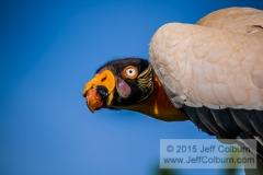King Vulture, Sarcoramphus papa, Arizona Renaissance Festival - RenFaire2011-0076