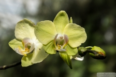 Orchid in a tree - ButterflyWonderland-0174