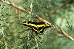 Thoas Swallowtail - ButterflyWonderland-0453