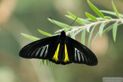 Common Birdwing - ButterflyWonderland-0456