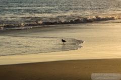 Plover feeding at Laguna Beach, CA - Laguna Beach-0144