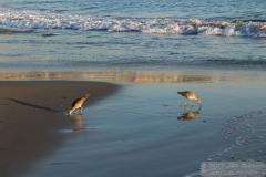 Plovers feeding at Laguna Beach, CA - Laguna Beach-0167