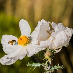Prickly Poppy, Argemone<br/>munita, And Honey Bee,