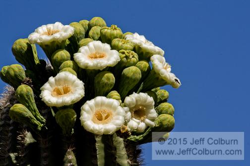 Saguaro Cactus in Bloom, Carnegiea gigantea - 09PLNT0398