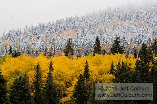 Quaking Aspens, Populus tremuloides, and Snow, Flagstaff - FCOL0685
