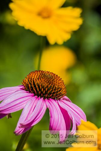 Echinacea, Cone Flower - PLANT0915-1