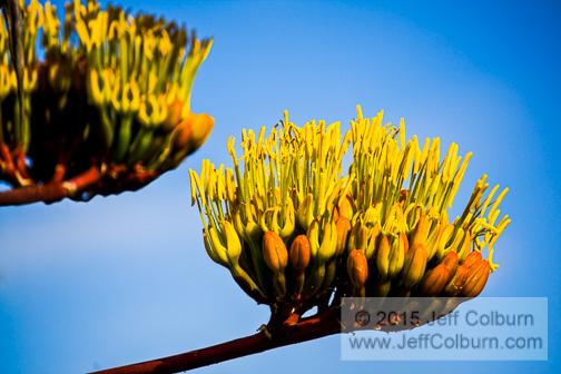 Parrys Agave, Agave parryi, Bloom - PLANT1108