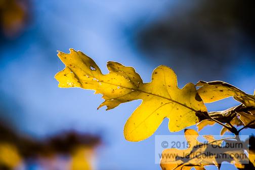 Oak Leaf in Fall - Williams0083