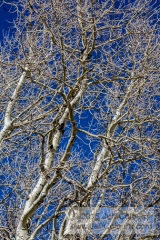 Quaking Aspens, Populus tremuloides, Bare Branches - FCOL0810