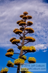 Parrys Agave, Agave parryi, Blooming - PLANT1088