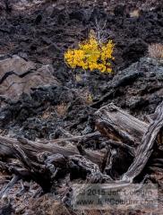Quaking Aspen, Populus tremuloides, in a Lave Flow - BONITOLAVA0377
