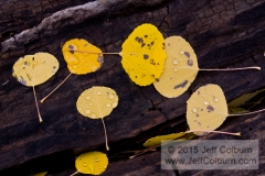Quaking aspen, Populus tremuloides, Leaves on a Log, Snowbowl, Flagstaff - FCOL0595