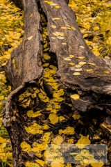 Quaking aspen, Populus tremuloides, Leaves in a Hollow Log, Flagstaff - FCOL0624