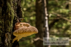 Artists Fungus, Ganoderma applanatum - Lamar Haines Trail, Flagstaff - LamarHainesTrail0163
