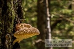 Artist's Fungus, Ganoderma applanatum - Lamar Haines Memorial Wildlife Area, Flagstaff - LamarHainesTrail0163