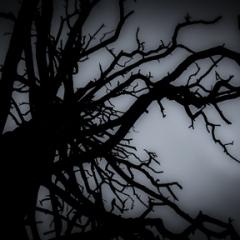 Dead Ponderosa Pine,<br/>Snowbowl, Flagstaff